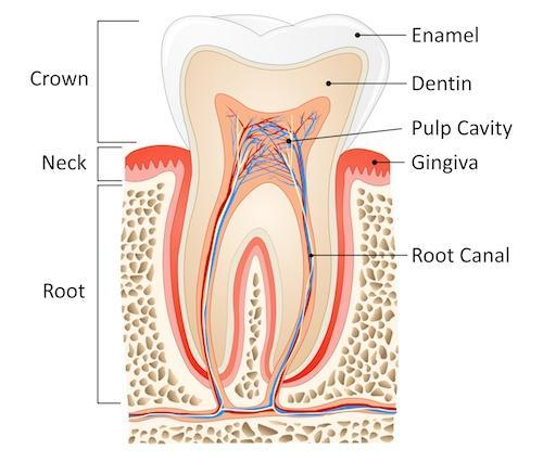Diagram of tooth structure and Root Canal in Columbus MS
